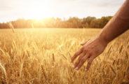 pszenica inwestowanie